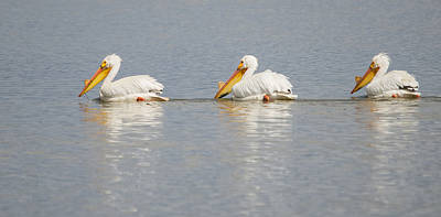 Breeding Season Photograph - Pelican Trifecta by Loree Johnson