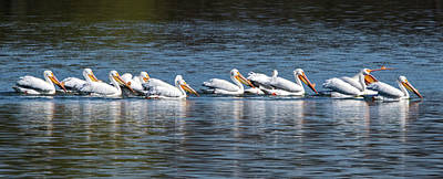 Ira Marcus Royalty-Free and Rights-Managed Images - Pelicans All In A Row by Ira Marcus