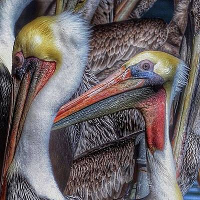 Photograph - Pelicans by Bill Owen