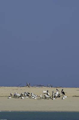 Photograph - Pelicans by Chris Cousins
