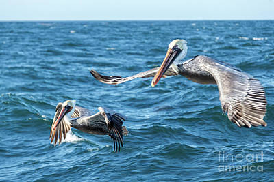 Photograph - Pelicans Flying by Robert Bales