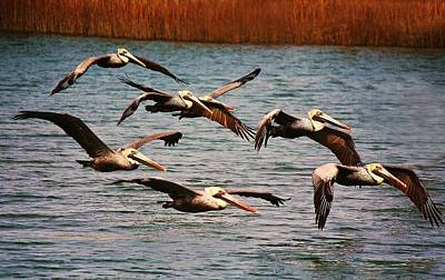 Pelicans Flying Through The Marsh Art Print by Paulette Thomas
