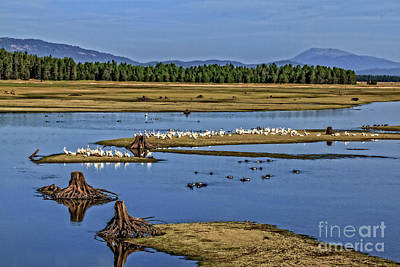 Photograph - Pelicans Gathering by Robert Bales