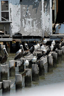 Photograph - Pelicans by Gregory Blank