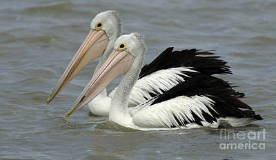 Photograph - Pelicans Australia 5 by Bob Christopher