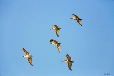 Photograph - Pelicans In Flight by Fran Gallogly