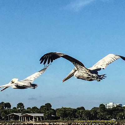 Photograph - Pelicans Inflight by Nance Larson