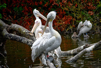 Photograph - Pelicans by Ingrid Dendievel