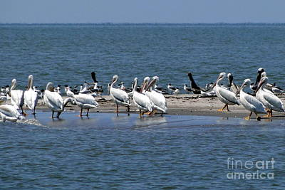 Photograph - Pelicans Island by Cindy Croal