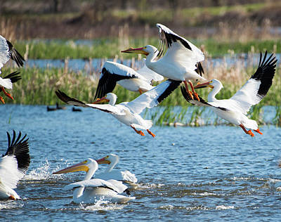 Flock Of Flying White Pelicans Photograph - Pelicans by Joel Wise