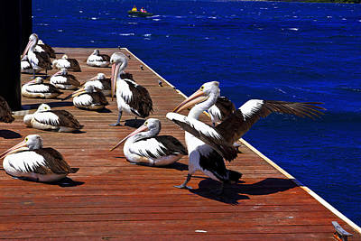 Photograph - Pelican's Landing 3 - Wings Down by Miroslava Jurcik