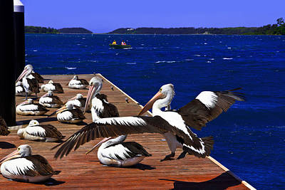 Photograph - Pelican's Landing  Before Touchdown by Miroslava Jurcik