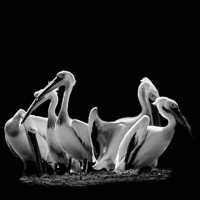 Photograph - Pelicans by Mark Perelmuter