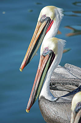 Photograph - Pelicans Mx2 by Diana Douglass