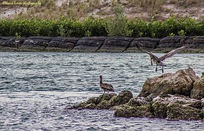 Photograph - Pelicans  by Nance Larson