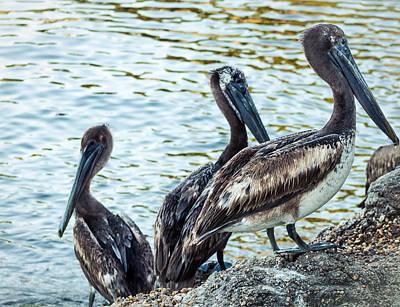 Pelicans On Rocks 2 Art Print