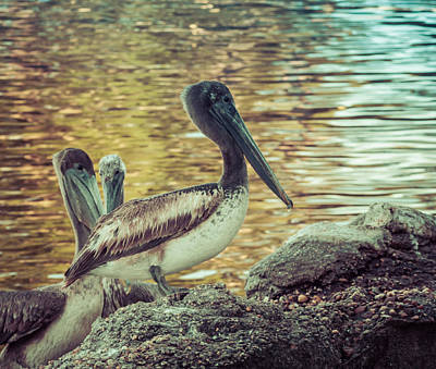 Pelicans On Rocks 3 Art Print
