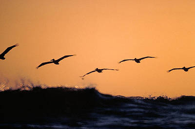 Pelicans Over The Pacific Art Print