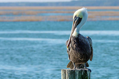 Photograph - Pelican's Perch by Van Sutherland