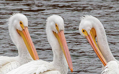 Photograph - Pelicans Preening  by Deb Buchanan