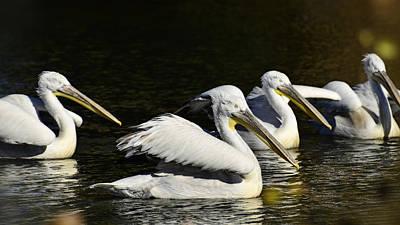 Photograph - Pelicans  by Saija  Lehtonen