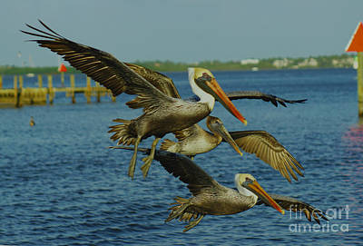 Photograph - Pelicans Three Amigos by Larry Nieland