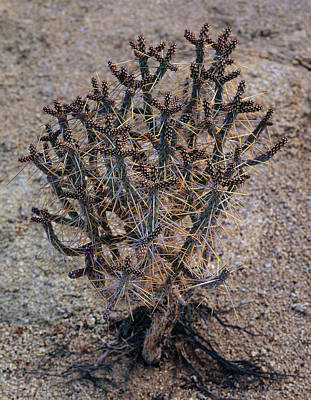 Photograph - Pencil Cholla Cactus by Paul Breitkreuz