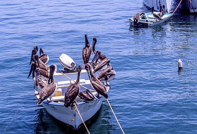 Photograph - Mexican Penguin Boardmeeting by Gary Shepard
