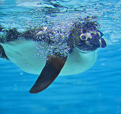 Photograph - Penguin Dive by Caroline Reyes-Loughrey