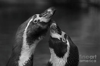 Photograph - Penguin Kiss by Giovanni Malfitano