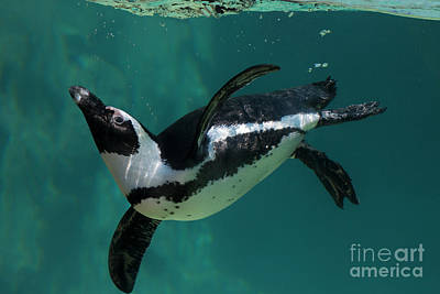 Photograph - African Penguin by Loriannah Hespe