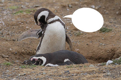 Photograph - Penguins Are Funny 3 by John Haldane