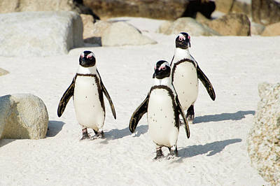 Focus On Foreground Photograph - Penguins On Beach by Rebecca Yale