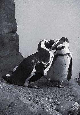 Photograph - Penguins by Sandy Taylor