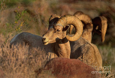 Photograph - Peninsular Bighorn Sheep Ovis Canadensis Crembobates Wild California by Dave Welling
