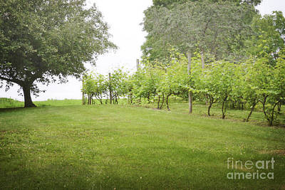 Photograph - Pennsylvania Vineyard Trees by Andrea Hazel Ihlefeld