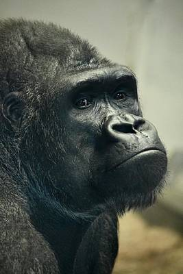 Photograph - Pensive Gorilla by Richard Bryce and Family