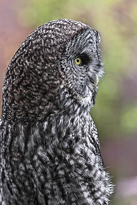 Photograph - Pensive Great Grey by Wes and Dotty Weber