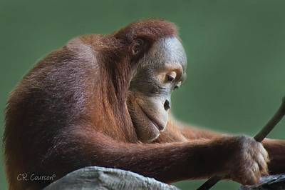 Photograph - Pensive Orangutan by CR Courson