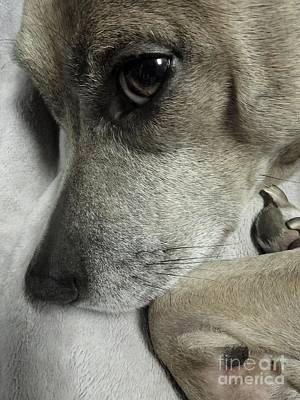 Photograph - Pensive Pit Bull by Renee Trenholm