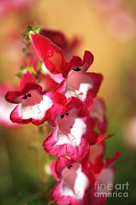 Photograph - Penstemon Flowers In Bloom by Joy Watson