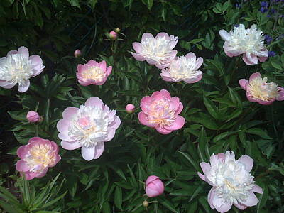 Shelburne Falls Photograph - Peonies A La Monet by Martin Yaffee