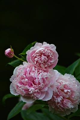 Photograph - Peonies  by Gillis Cone