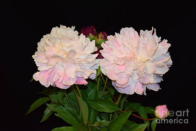 Photograph - Peonies by Jeannie Rhode