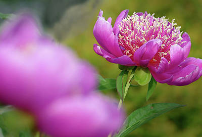 Photograph - Peonies by Jeff Brunton