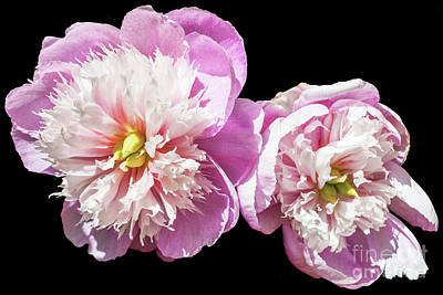Photograph - Peonies by Roselynne Broussard