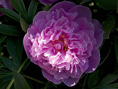 Photograph - Peony 2 by Rhonda McDougall