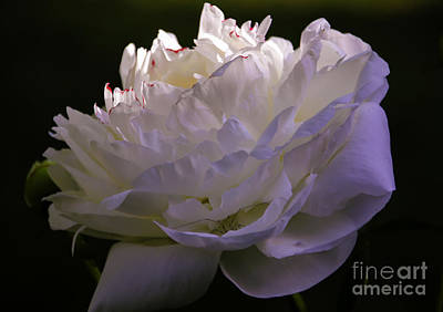 Photograph - Peony At Eventide by Marilyn Carlyle Greiner