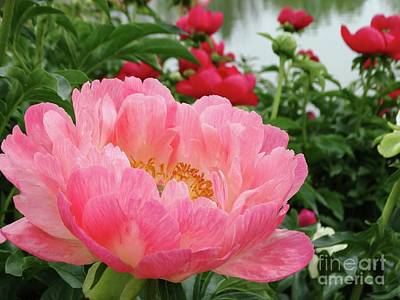 Photograph - Peony Blooms by Rebecca Overton
