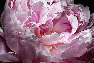 Photograph - Peony Blossom by Phyllis Denton